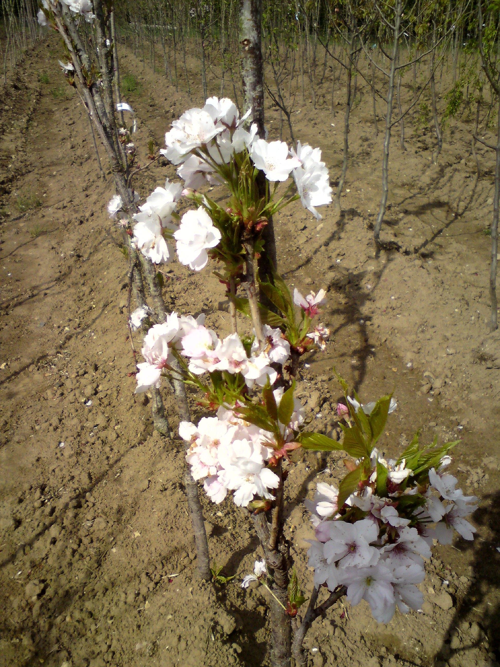 Prunus Flowering Cherry