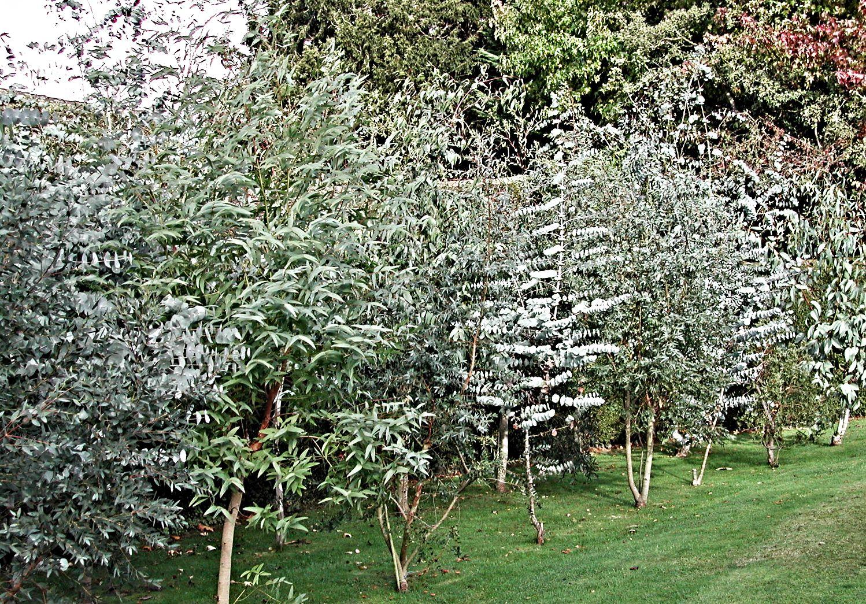 Eucalyptus Gunni Cider Gum