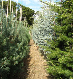 Fielders pines and cedars